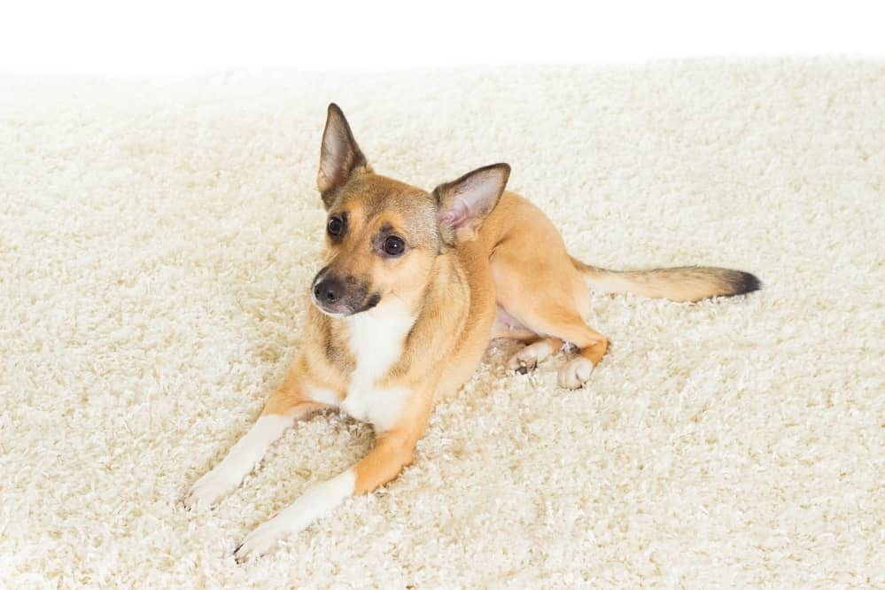 How to Get Dog Poop Out of a Carpet