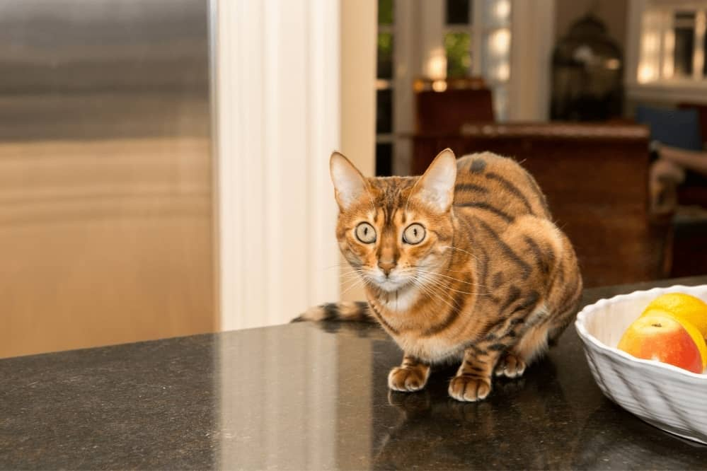 Tips To Keep Cats Off The Kitchen Counter