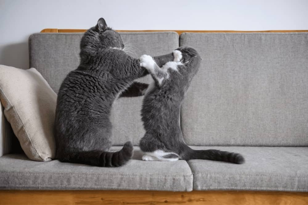 Stop Cat From Bullying Other Cat